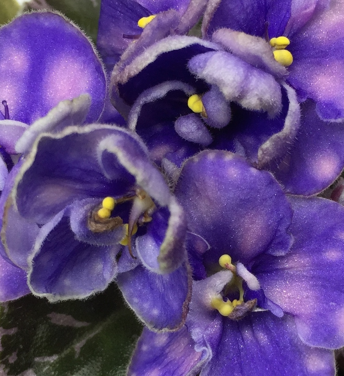 Officers and Affiliate clubs - Ohio State African Violet Society